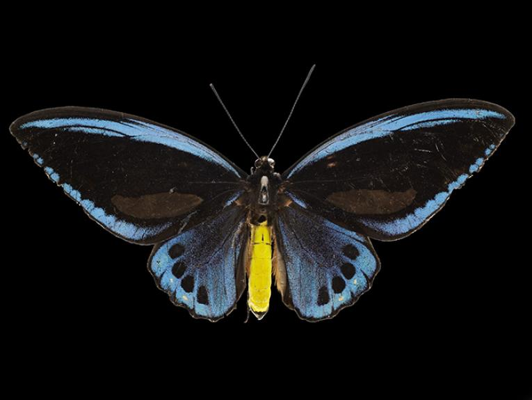Priam's blue birdwing butterfly