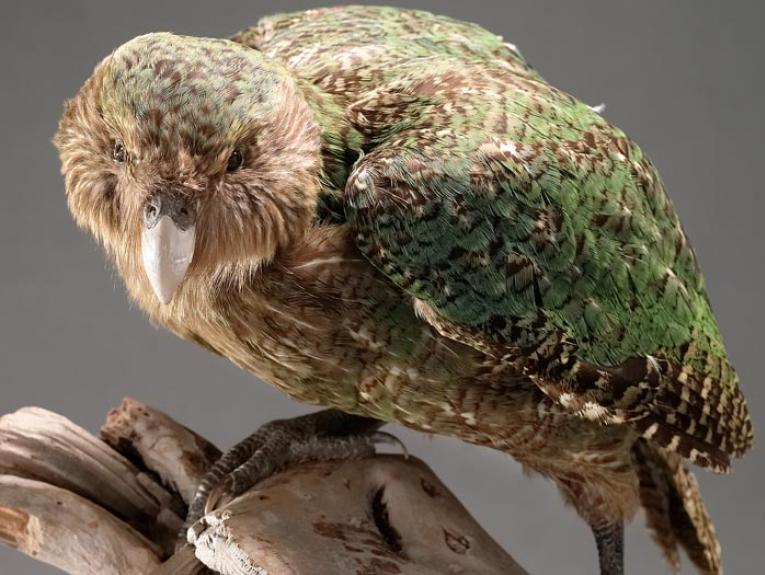 Kakapo, Strigops habroptilus, collected June 1992, Codfish Island, Foveaux Strait, New Zealand. Gift of the Department of Conservation. CC BY-NC-ND licence. Te Papa (OR.025736)
