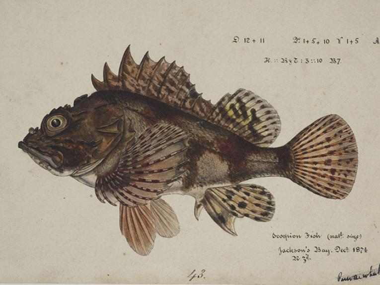 Watercolour illustration of Scorpaena cardinalis ( Red Scorpion fish), 1874