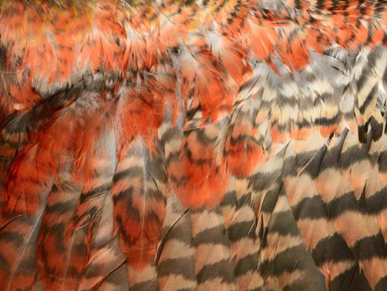 North Island Kaka, Nestor meridionalis septentrionalis, collected 24 Apr 1988, Waiterimu, near Ohinewai, Waikato., New Zealand. CC BY-NC-ND licence. Te Papa (OR.024148/1)