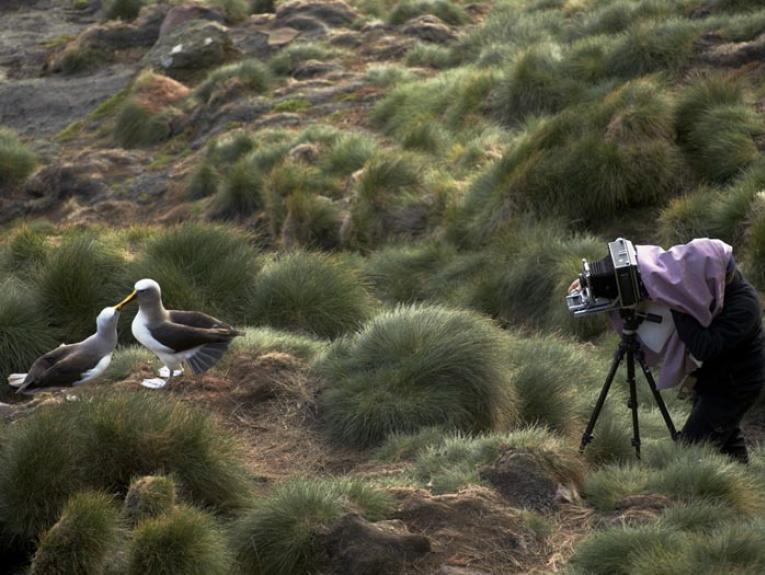 Solander albatross