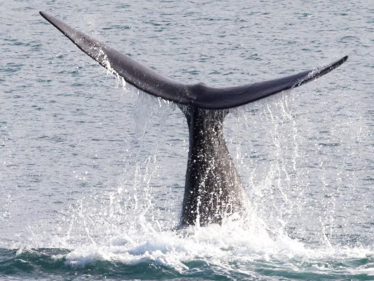 Tail of a whale as it dives into the ocean
