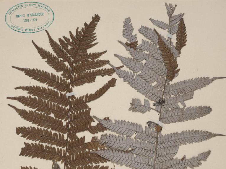 Silver fern specimen