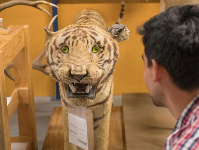 Tiger on the Natural History storeroom tour