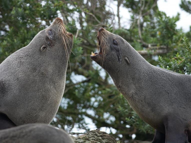 Two seals facing yelling at each other
