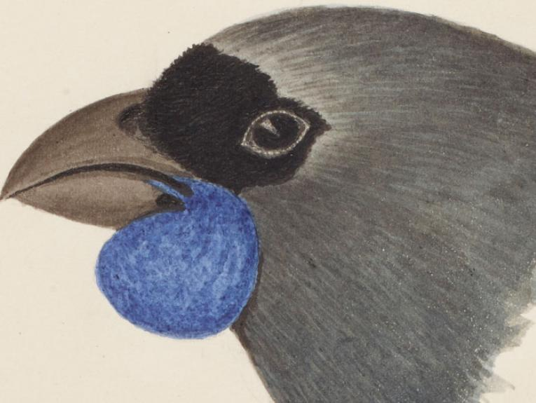North Island kokako, 1865 -1885, New Zealand, by John Buchanan