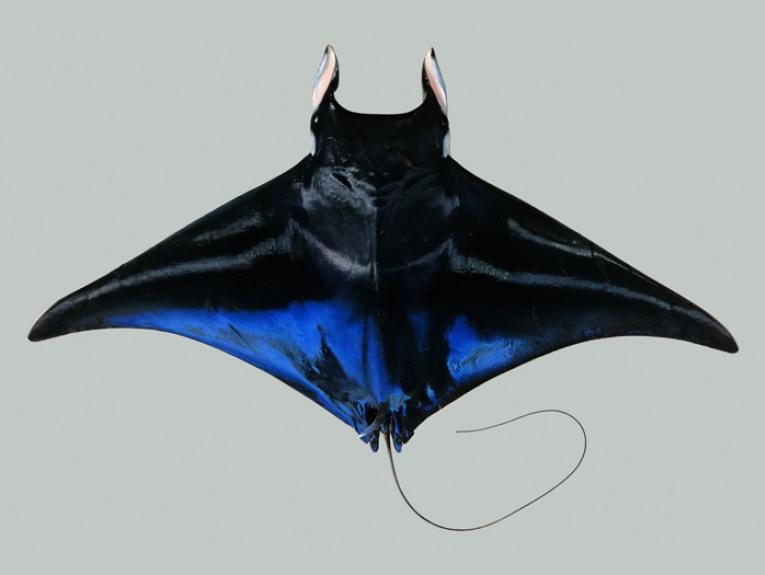 Mobula japanica (Mü ller & Henle, 1841). Spinetailed devil ray