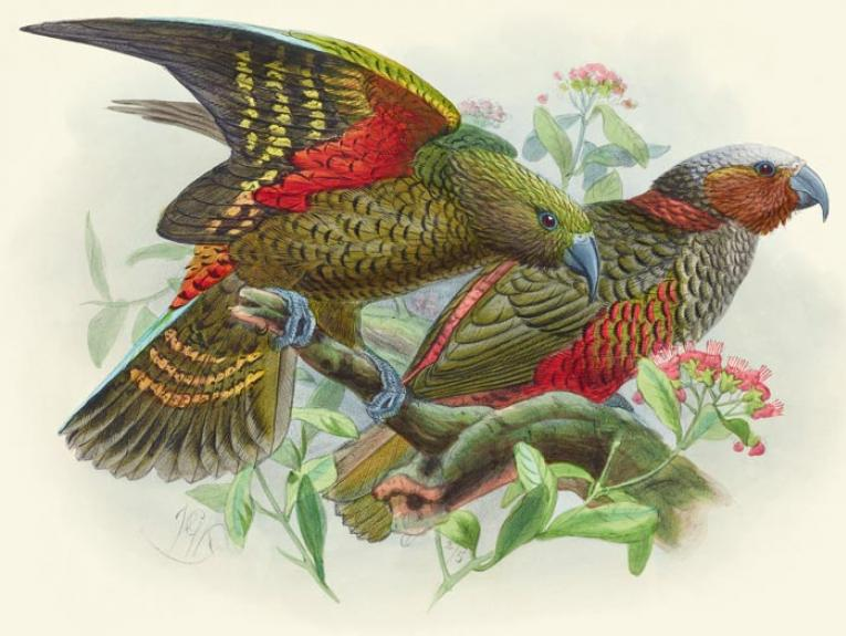 """Kaka parrot and variety """"Kaka-kura"""". Nestor Meridionalis. (one-half natural size). Plate 17. From the book: A history of the birds of New Zealand Vol. 1, 1888, by Johannes Keulemans. Te Papa (RB001178/150a)"""