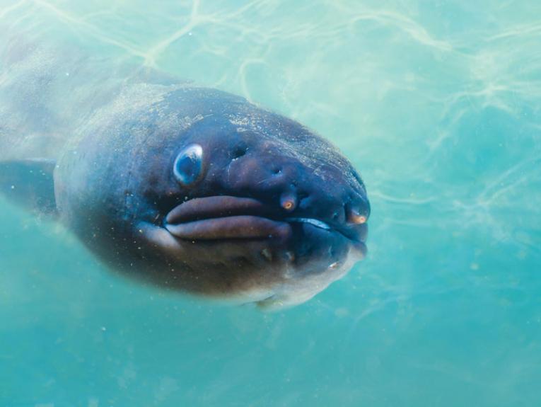 Longfin eels (tuna)