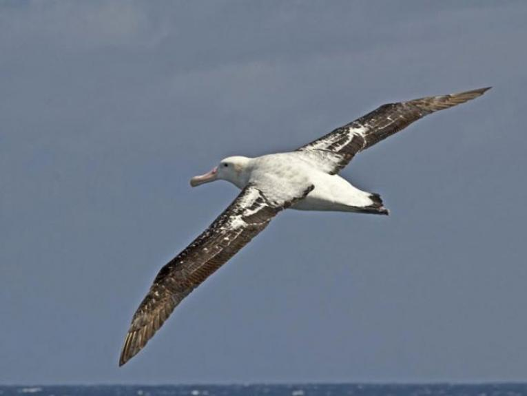 An albatross flying