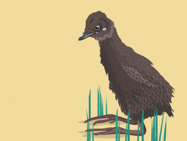 Weka chick illustration