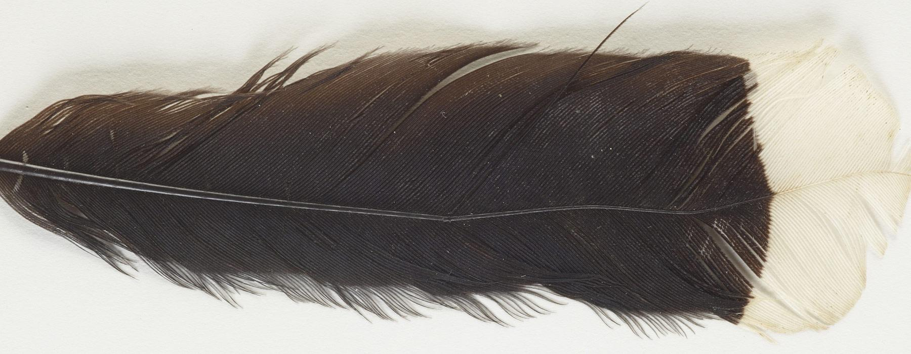 Huia feather, maker unknown. Te Papa (ME024134)