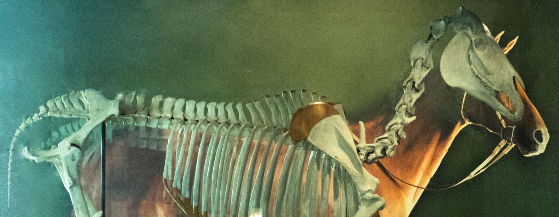 Phar lap skeleton
