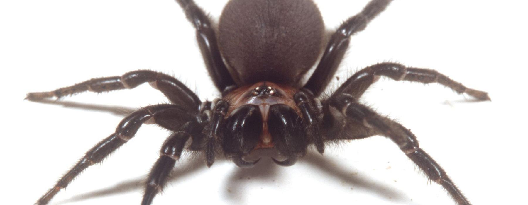 Black tunnelweb spider. Photograph by Norm Heke. Te Papa