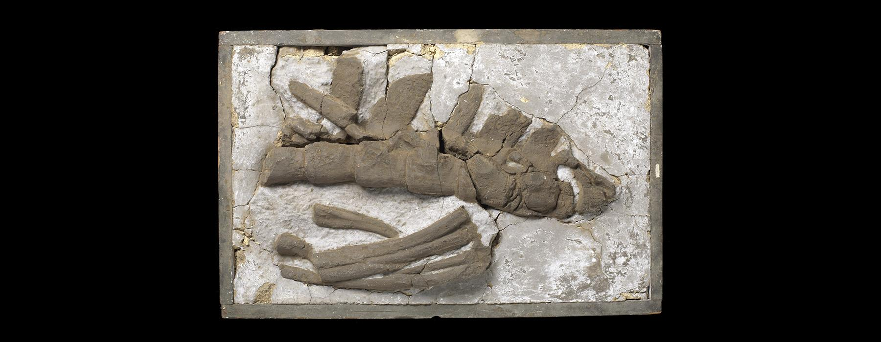 A set of bones in a flat plaster cast on a black background