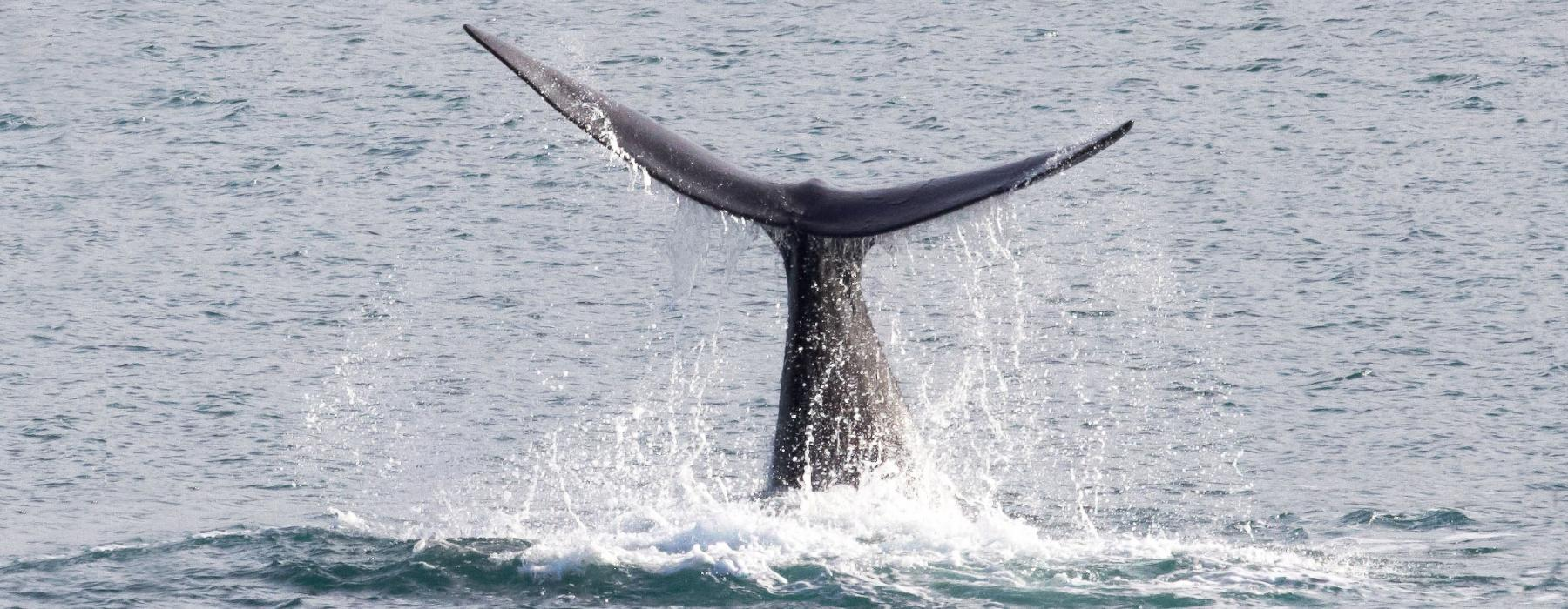 The tail of a whale as it dives into the ocean