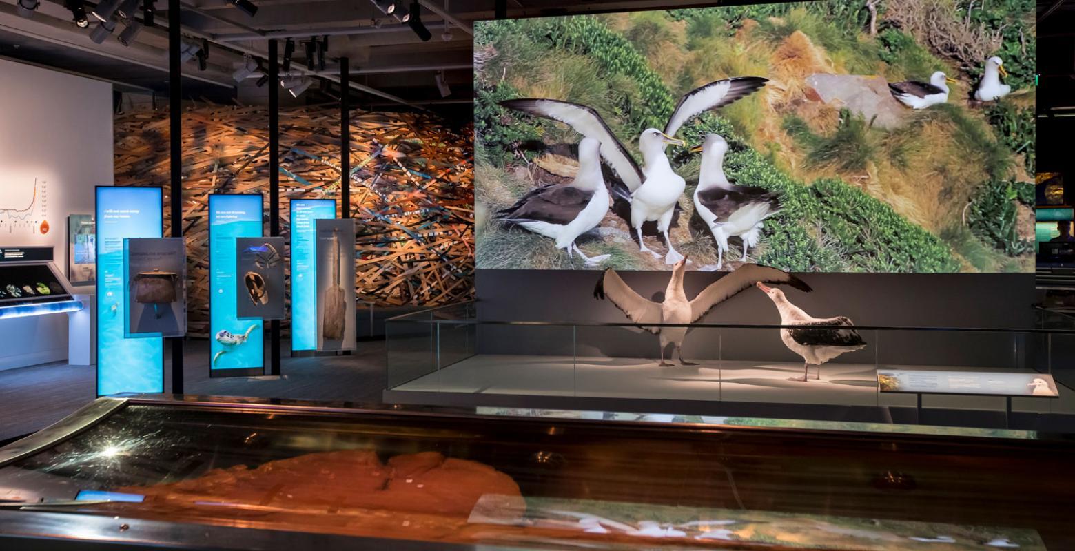 Taxidermy albatross on display