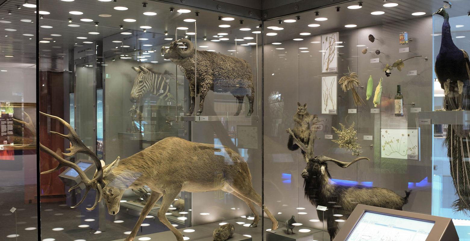 Lots of taxidermy animals in a display case including a stag, possum, and peacock