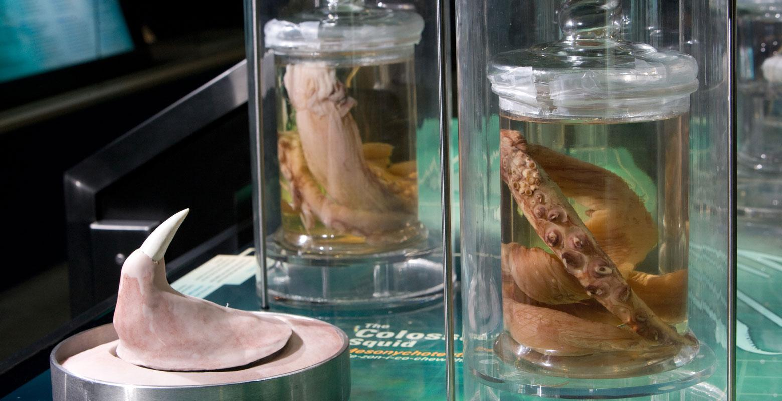 Squid hooks and other parts of the squid in jars