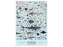The Fishes of New Zealand Poster