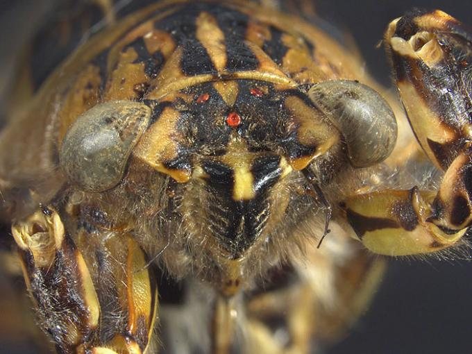Close-up of a clapping cicada