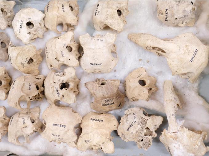 Extinct adzebill skulls