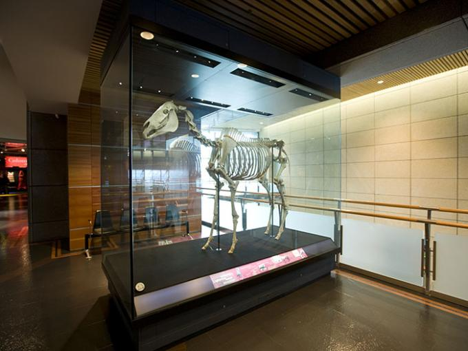 Skeleton of a horse in a glass box