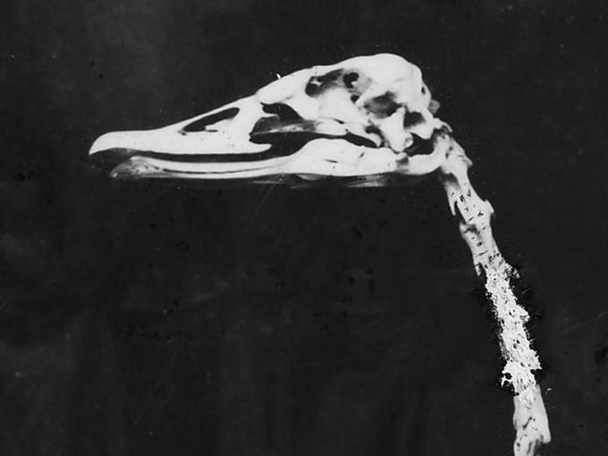 Swan skeleton