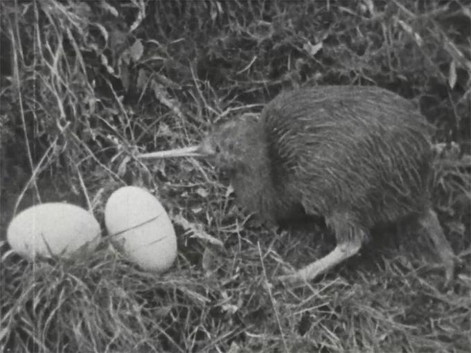Kiwi with eggs