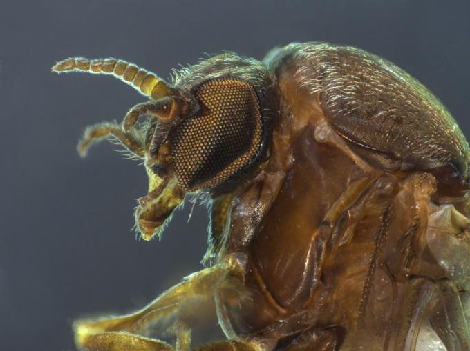 A close-up photo of a sandfly