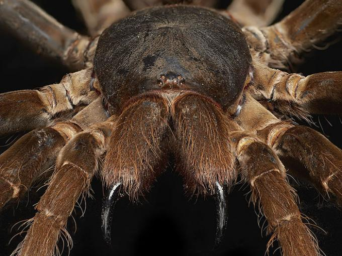 Close-up of king baboon spider
