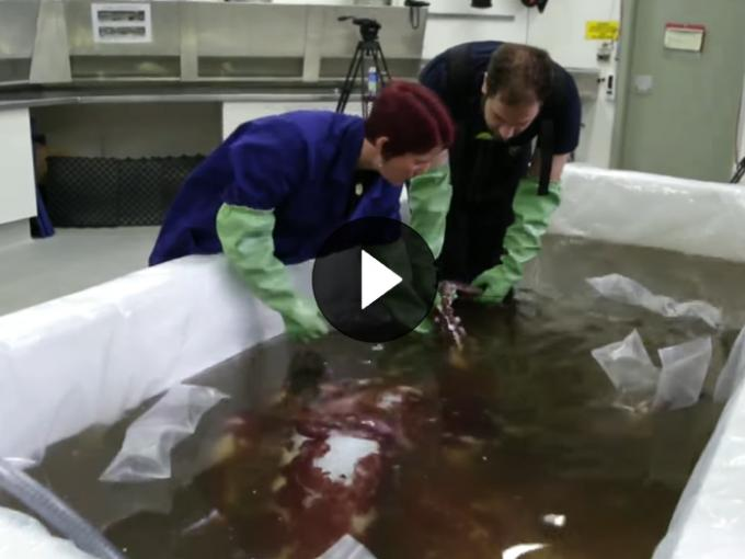 Two scientists examine the giant squid in water