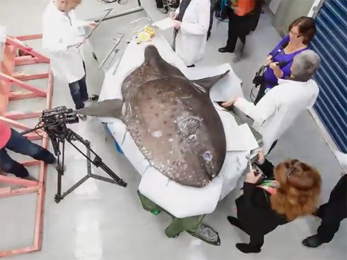 Scientist and camera crew look over a large sunfish on a table
