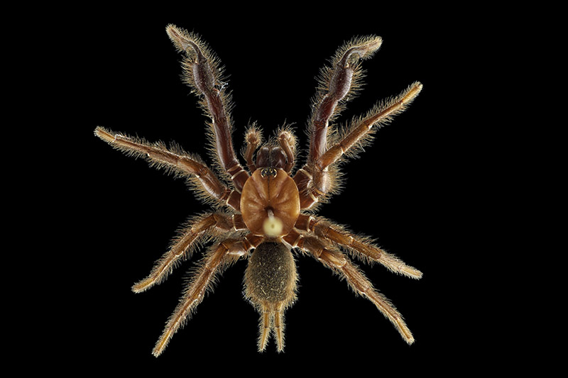 Tunnelweb spider