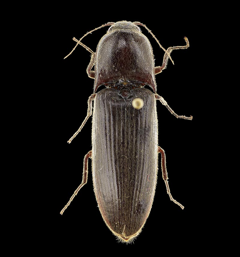 Wakefield's click beetle