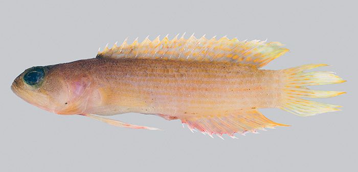 The new species of rockfish (specimen), 67 millimetres long. Te Papa (P.046264)